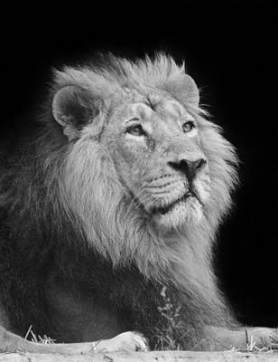 Photograph - The Lion King by Kavitha