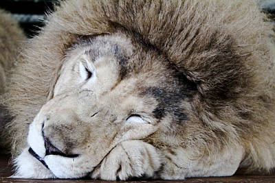 Photograph - The Lion Sleeps by Elizabeth Hart