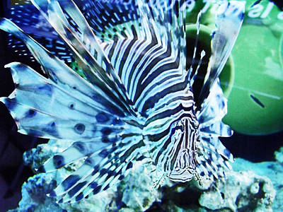 The Lionfish 1 Art Print by Robin Hewitt