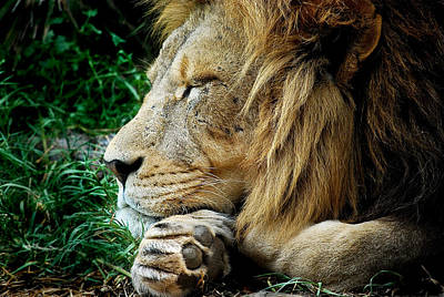 The Lions Sleeps Art Print