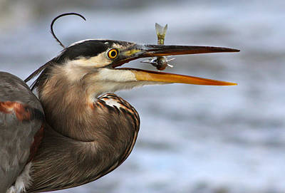 Great Heron Photograph - The Little Fish by Mircea Costina Photography