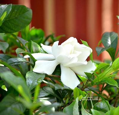 Photograph - The Lovely Gardenia by Maria Urso