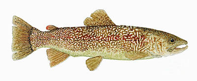 Trout Painting - The Marble Trout Of Slovenia by Thom Glace
