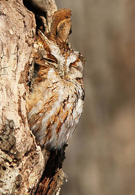 Eastern Screech Owl Photograph - The Master Of Camouflage by Mircea Costina Photography