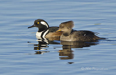 Photograph - The Mergansers by Mike Fitzgerald