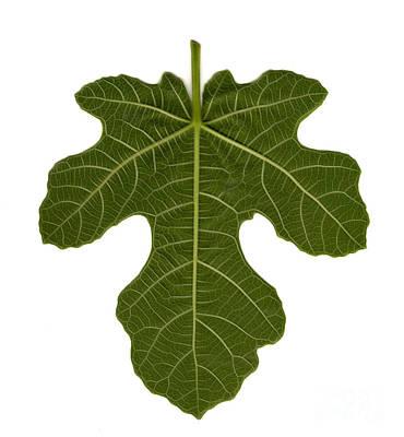 The Mission Fig Leaf Art Print