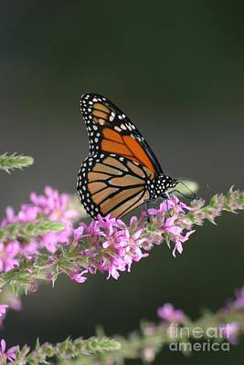 Photograph - The Monarch by Living Color Photography Lorraine Lynch