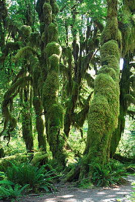 Photograph - The Moss Covered Trees Of The Rain Forest In Olympic National Park by Pierre Leclerc Photography