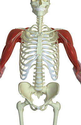 Human Joint Photograph - The Muscles Of The Shoulder And Upper Arm by MedicalRF.com