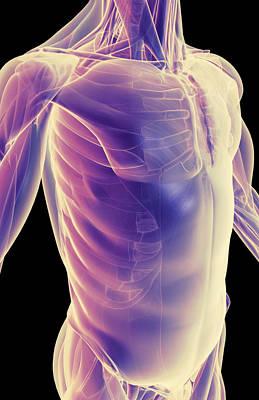 Serratus Anterior Digital Art - The Muscles Of The Trunk by MedicalRF.com
