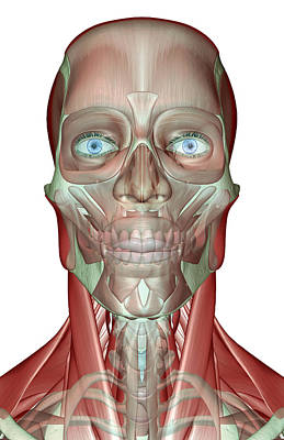 The Musculoskeleton Of The Head, Neck And Face Print by MedicalRF.com