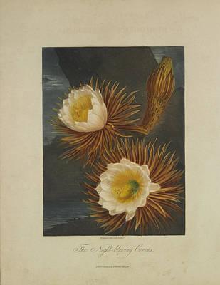 The Night-blooming Cereus Art Print by Robert John Thornton