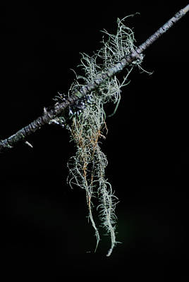 Lichen Photograph - The Old Man's Beard by Susan Capuano