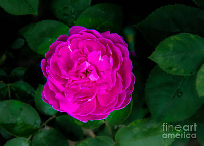 Rosaceae Photograph - The Old Red Rose by Robert Bales