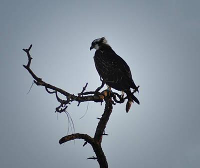 Bird Photograph - The Osprey by Bill Cannon
