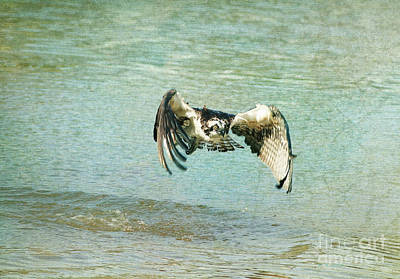 Osprey Mixed Media - The Osprey Glare by Deborah Benoit