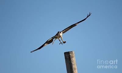 The Osprey's First Catch Collection Image I Art Print by Scenesational Photos