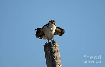Photograph - The Osprey's First Catch Collection Image II by Scenesational Photos
