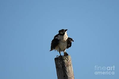 Photograph - The Osprey's First Catch Collection Image IIi by Scenesational Photos