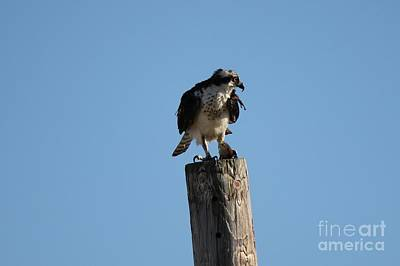 Photograph - The Osprey's First Catch Collection Image Iv by Scenesational Photos