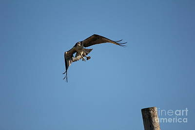 Photograph - The Osprey's First Catch Collection Image V by Scenesational Photos