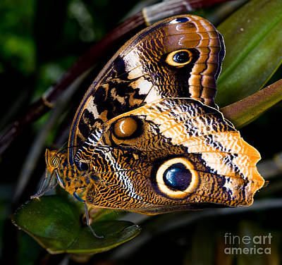 Photograph - The Owl Butterfly 3 by Terry Elniski