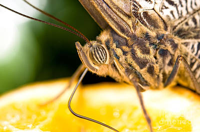 Photograph - The Owl Butterfly Extreme Close Up by Terry Elniski