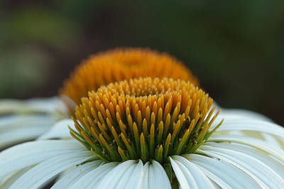 Photograph - The Pair Of Coneflowers by Monte Stevens