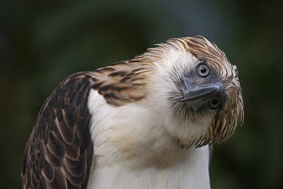 And Threatened Animals Photograph - The Philippine Eagle Twists Its Head by Klaus Nigge