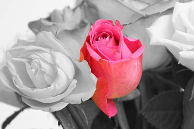Photograph - The Pink Rose by Kavitha