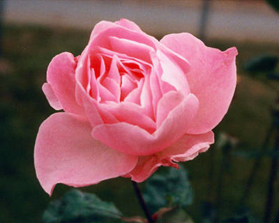 Photograph - The Pinkest Of Roses by Emery Graham