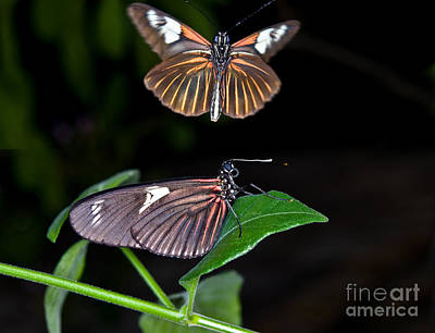 Photograph - The Postman Butterflies by Terry Elniski