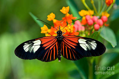 Photograph - The Postman Butterfly 2  by Terry Elniski