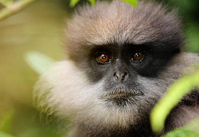 The Purple-faced Langur. Nuwara Eliya.sri Lanka Art Print by Jenny Rainbow
