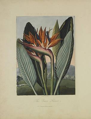 Strelitzia Drawing - The Queen Flower by Robert John Thornton