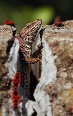 Photograph - the random Lizard  by Stwayne Keubrick