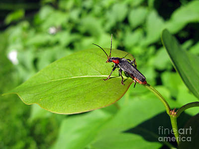 Photograph - The Rednecked Bug On The Leaf by Ausra Huntington nee Paulauskaite
