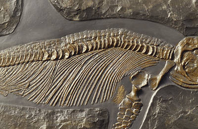 Collectors Corner Photograph - The Ribs And Spine Of Ichthyosaur by Jason Edwards