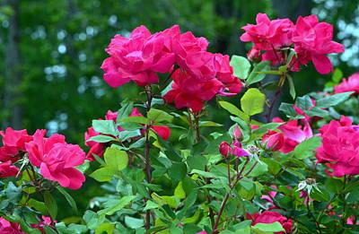 The Rose Garden Art Print by Tanya Tanski
