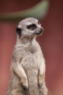 Meerkat Photograph - The Sentry by Michelle Wrighton