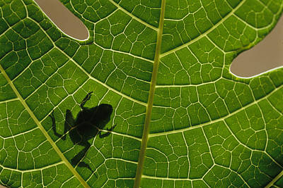 The Silhouette Of A Tree Frog Seen Art Print