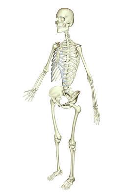 Human Skeleton Photograph - The Skeletal System by MedicalRF.com