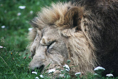 Photograph - The Sleeping Lion King by Kavitha