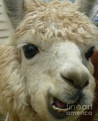 The Smiling Alpaca Art Print