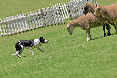 Herding Dog Photograph - The Stare - Border Collie At Work by Christine Till