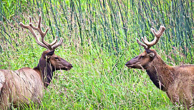 Elk In Velvet Photograph - The Stare Down by Steve McKinzie