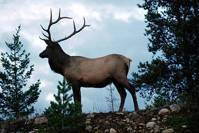 Photograph - The Stately Elk by Harvey Barrison