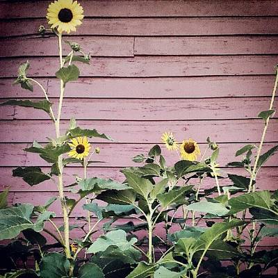 Sunflowers Wall Art - Photograph - The Sunflower Family by Tina Marie