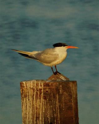 The Tern Art Print by Ernie Echols
