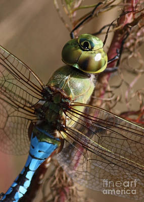 Macro Dragonfly Photograph - The Thorax by Carol Groenen